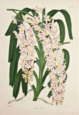 Walter Hood Fitch - Aerides Nobile