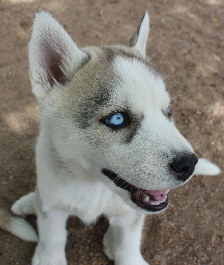 Caring For Neonatal Orphaned Puppies Siberian Husky Training