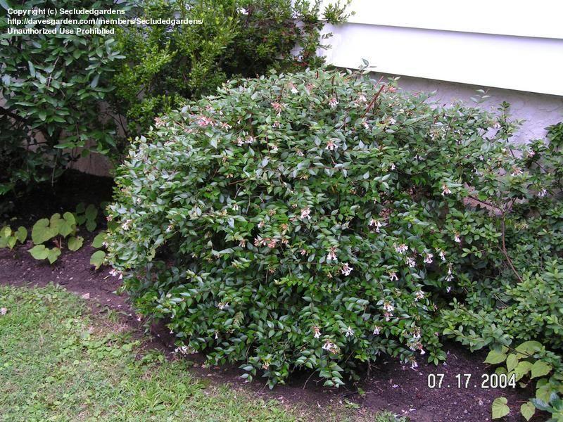 full size picture of glossy abelia  u0026 39 little richard u0026 39   abelia x grandiflora  growing in montgomery
