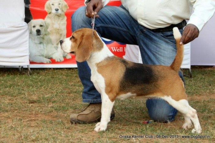 Velvet Touch S Indian Will Beagle Dog Show Dogs Dog Pictures