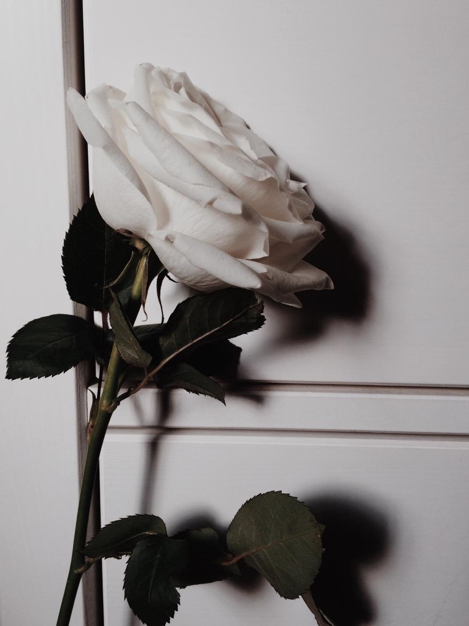 1 Likes Tumblr Mawar Putih Bunga Putih Mawar Cantik