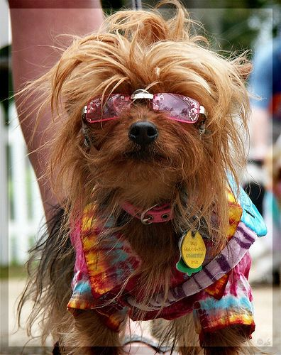 OMG... the absolute cutest yorkie ever! My baby girl, Gigi has those glasses!