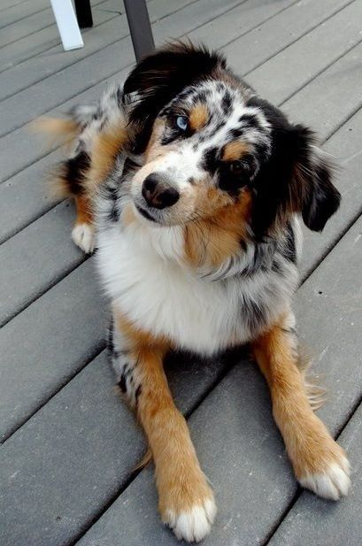 Aussie Via Reddit Aussie Dogs Australian Shepherd Dogs Cute Dogs