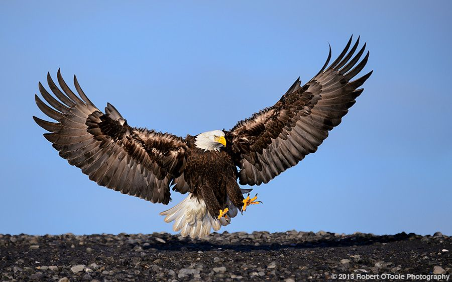 the eagle landing by - photo #11
