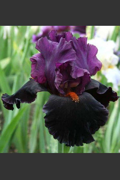 Black Magic Woman | Iris   Stauden Des Jahres 2016 | Schwertlilien Katalog  | Iris4u Greenhouse