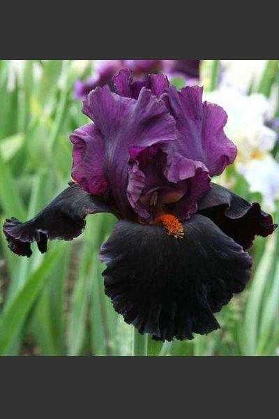 Black Magic Woman | Iris   Stauden Des Jahres 2016 | Schwertlilien Katalog  | Iris4u Greenhouse