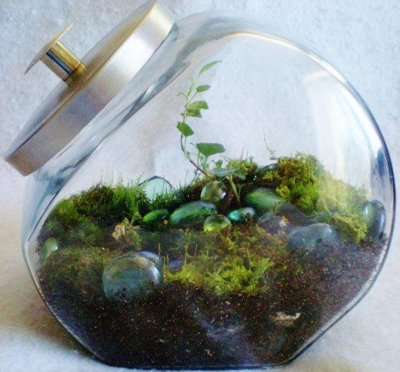 Lush Ivy Candy Jar Terrarium Moss Living Art Large Indoor Fairy Garden Moss  Pixie Cup Lichens