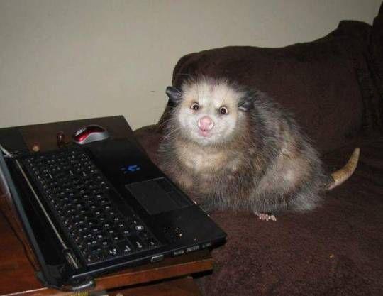 Possum image by lovegoblin!   Awesome possum, Opossum, Opposum