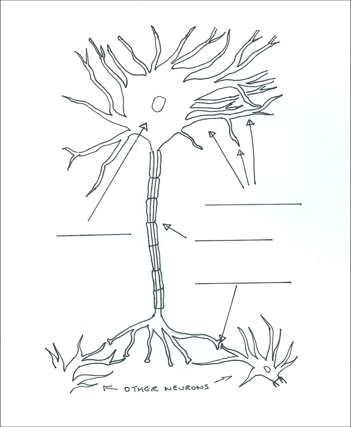 A Pic Of A Neuron From One Of The Worksheets Supporting