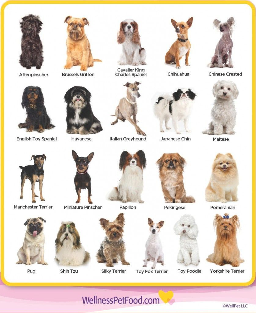 Types Of Toy Breeds Types Of Dogs Breeds Dog Breeds List Dog