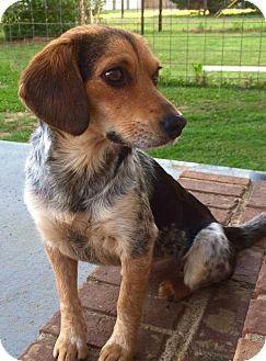 Hagerstown Md Beagle Australian Cattle Dog Mix Meet Puppy