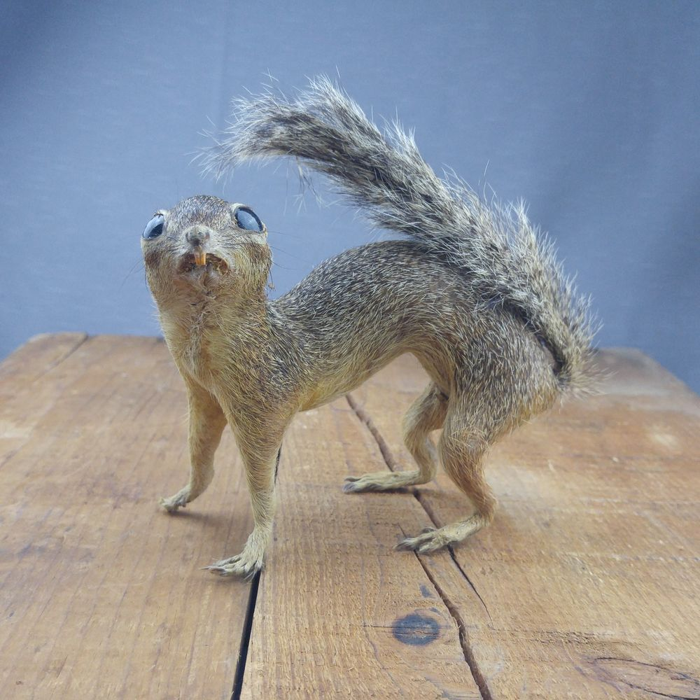 Vtg Taxidermy Columbia Ground Squirrel Buck Tooth Male Mounted Brown Black Tail Unbranded Your Spirit Animal Squirrel Spirit Animal