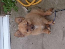 Pomeranian X Chihuahua For Sale Chihuahua For Sale Chihuahua