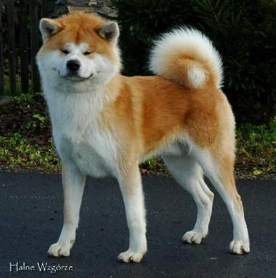Akita Maybe My Next Dog Maybe They Shed Too Much Dog