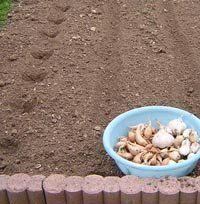 Planter l'échalotte et l'ail (avec images) | Jardinage ...