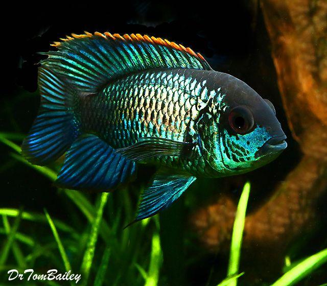 Premium New Metallic Blue Acara 3 5 To 4 Long Cichlids Aquarium Fish Tropical Fish