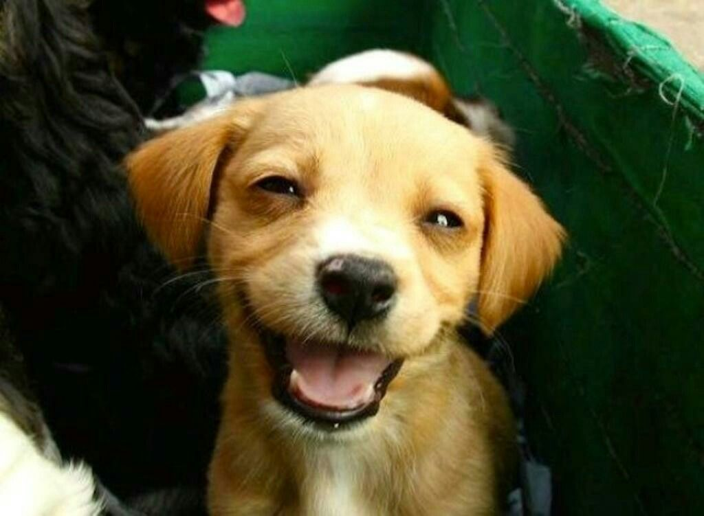 Happy dog | Happy animals, Smiling dogs, Cute animals
