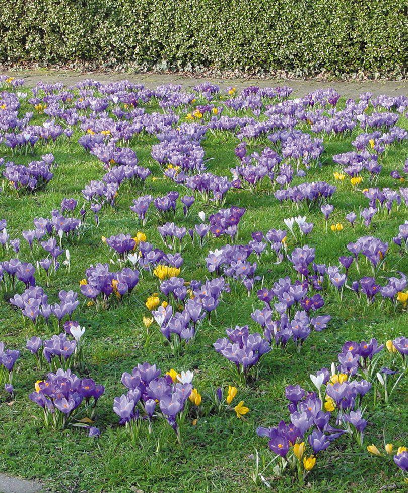 7 bulbes de printemps pour r veiller votre jardin mon jardin pinterest bulbe fleur bulbes. Black Bedroom Furniture Sets. Home Design Ideas