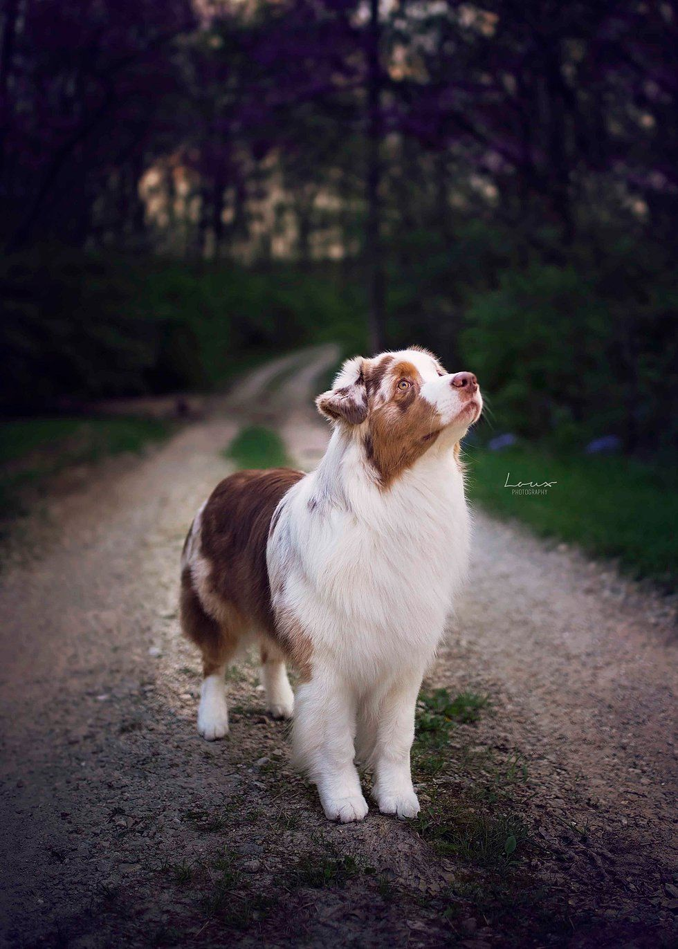 Beans With Images Aussie Dogs Australian Shepherd Cute Dogs