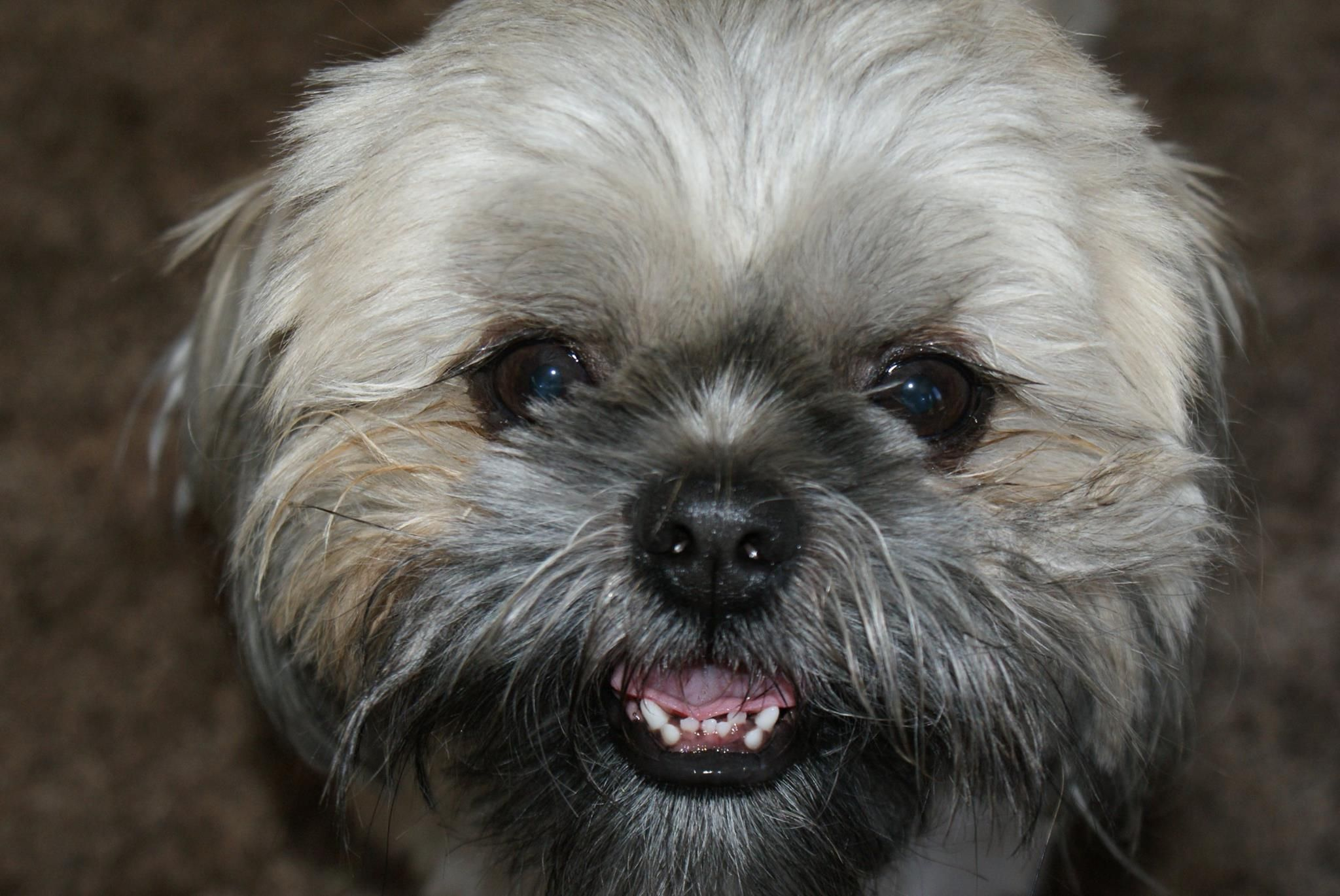 Mom Says I Need Braces Bearboy Our Shihtzu Who S 9 Yrs Old