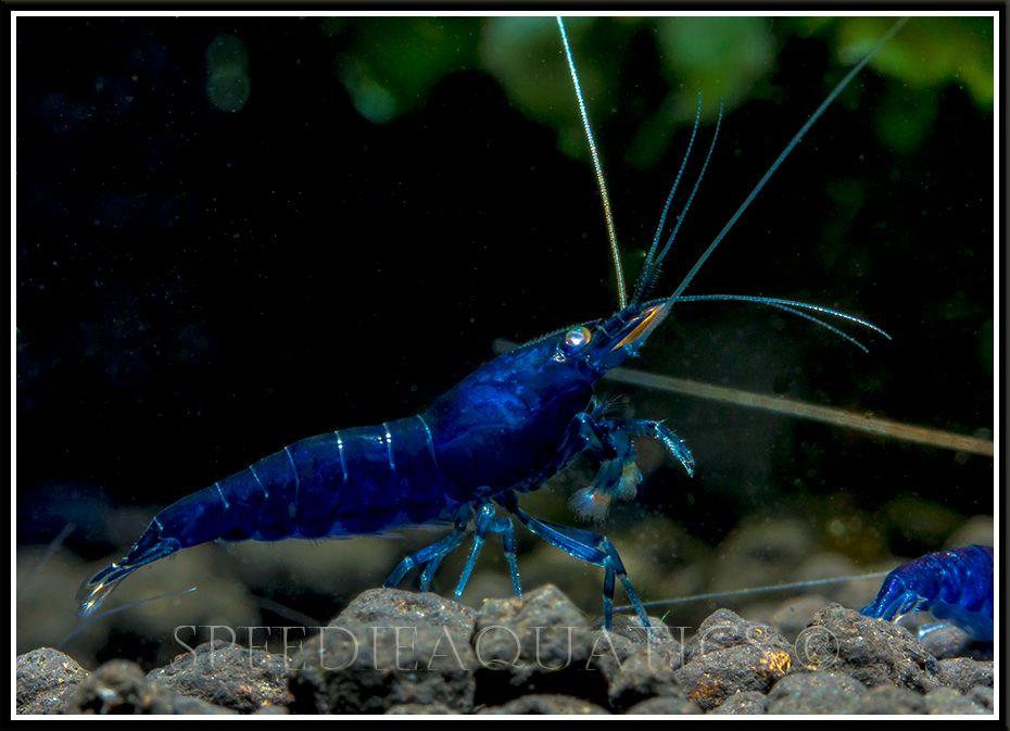 orange eyed blue tiger shrimp aquascape pinterest