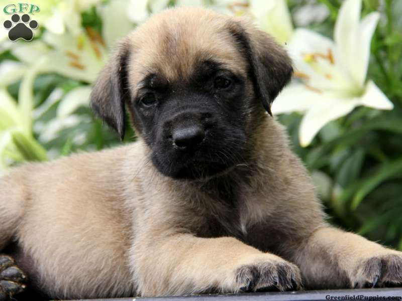 Mary, English Mastiff Puppy For Sale in Coatesville, Pa