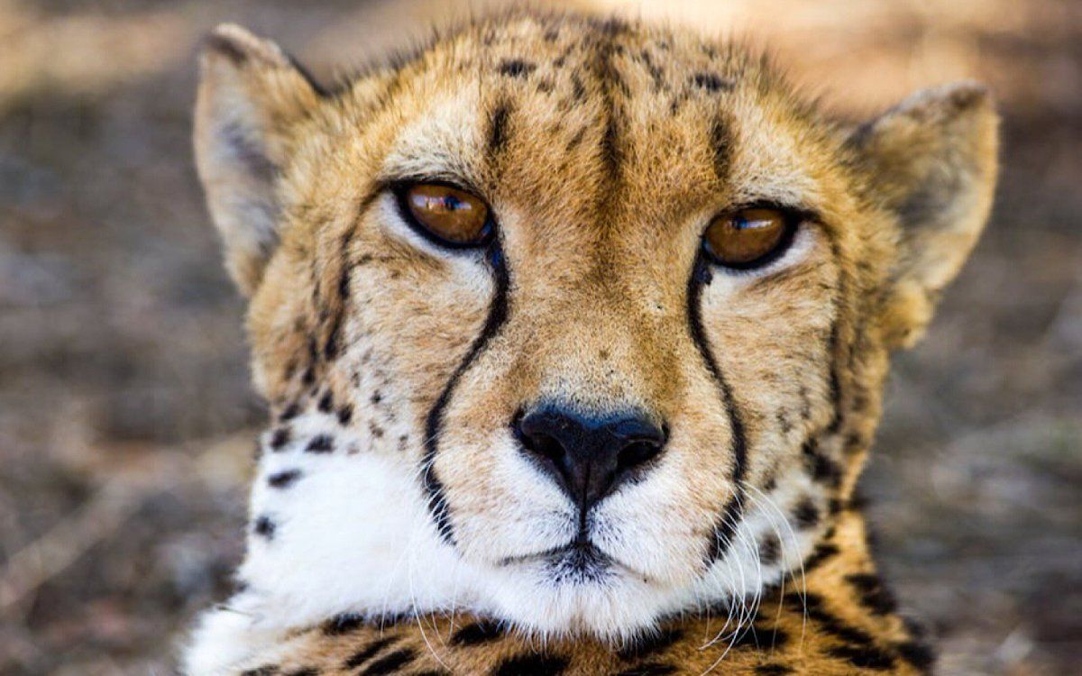 Please take a moment to sign the petition demanding an end to the international wild cheetah trade.  And please share this with your network to gain more support for our world's cheetahs!