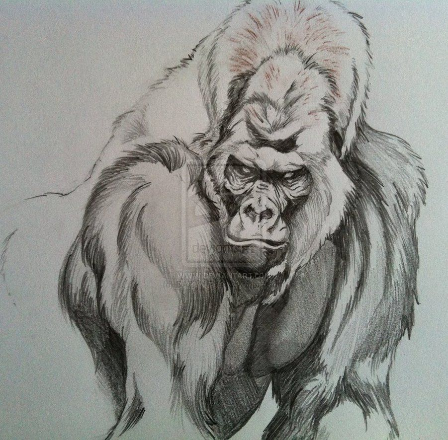 Silverback Gorilla By Dazamir13 D6gm8e8 Jpg 901 886 Pixels Gorillas Art Gorilla Tattoo Animal Sketches