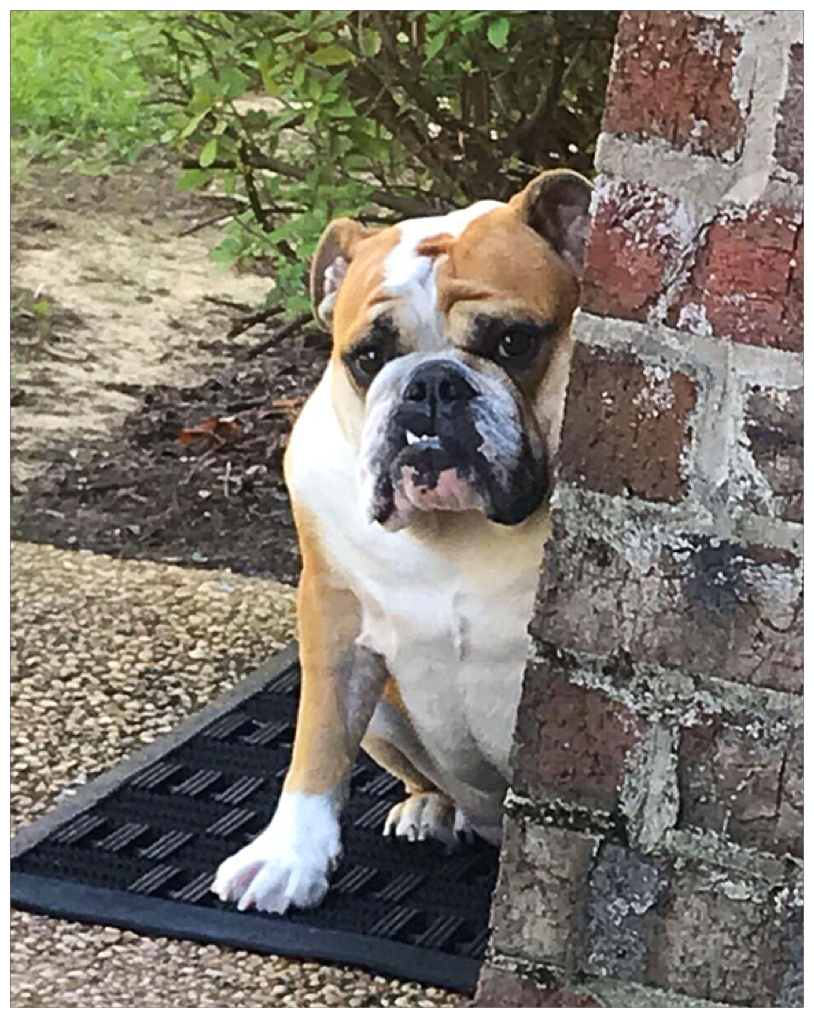Miss Lily 3 Years Old English Bulldog English Bulldog Bulldog
