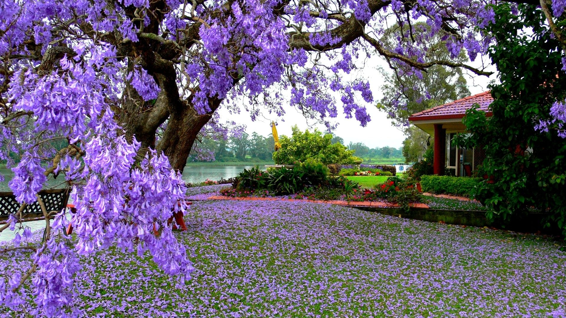 Spring Nature Desktop Backgrounds 2020 Live Wallpaper Hd Jacaranda Tree Flowering Trees Spring Wallpaper