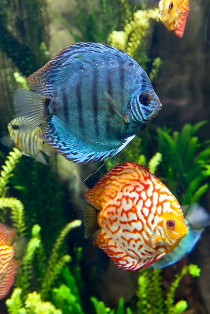 Best 25 discus ideas on pinterest discus fish discus for Colorful freshwater aquarium fish