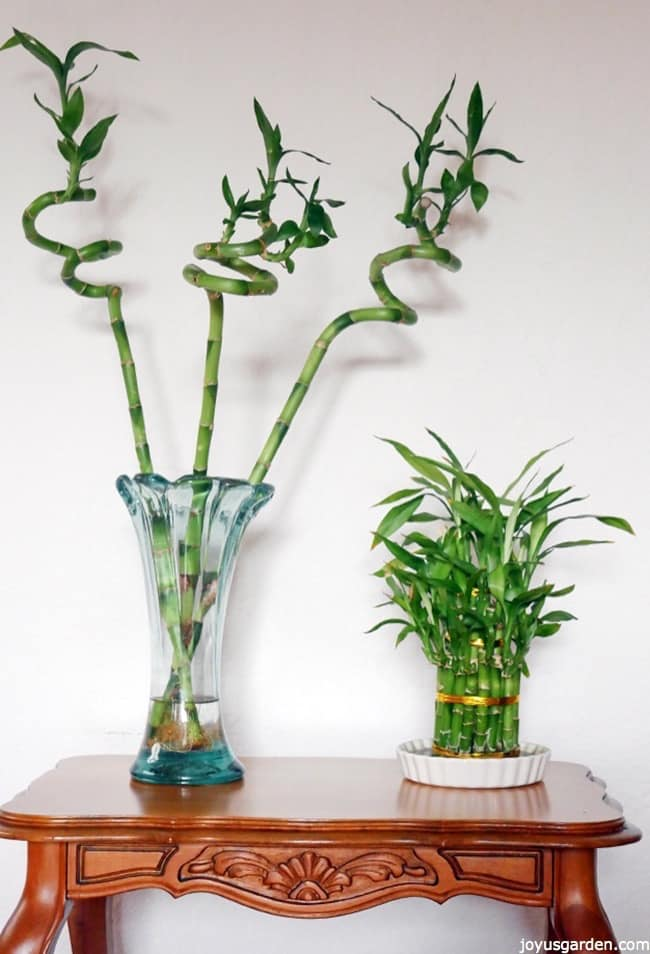 10 Easy Care Houseplants For Low Light Lucky Bamboo Care 400 x 300