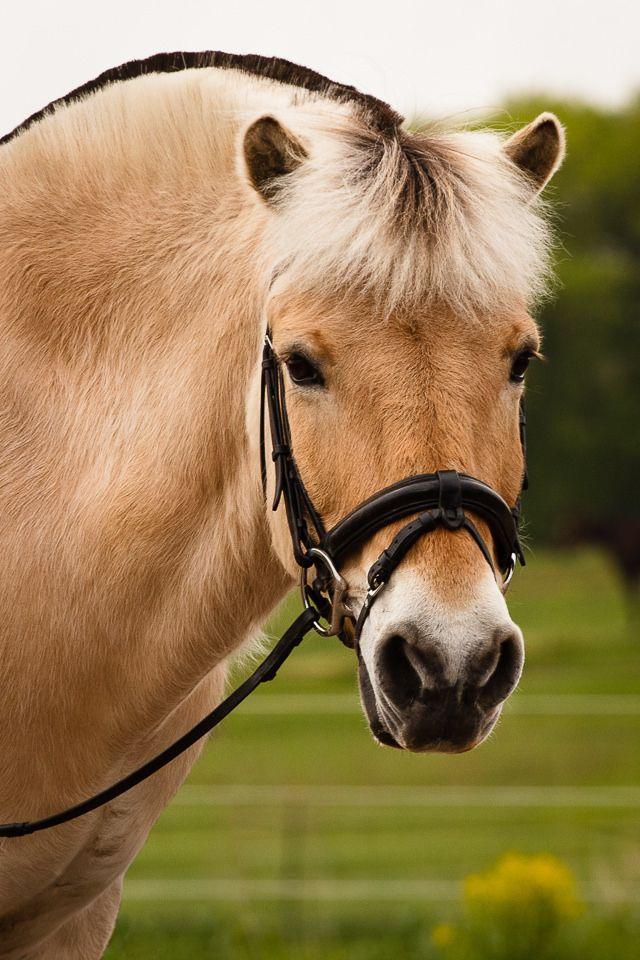 Norwegian Fjord horse -  Dressage horse - from Minnesota equine photographer Molly Goossens