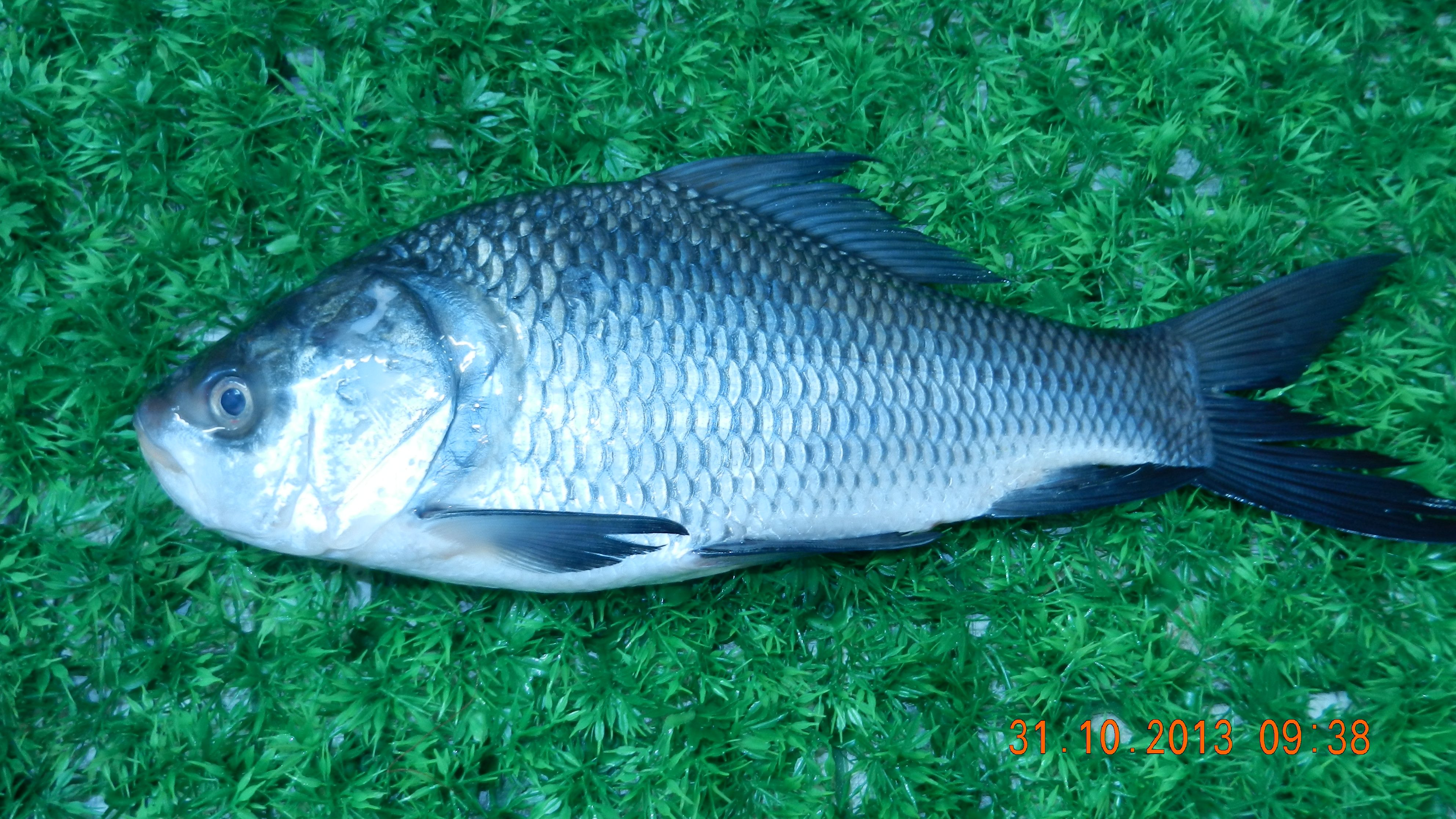 Katla Fish Available At Supreme Seafood For Home Delivery In Chennai Visit Us At Www Supremeseafood In Fish Seafood Delivery Seafood