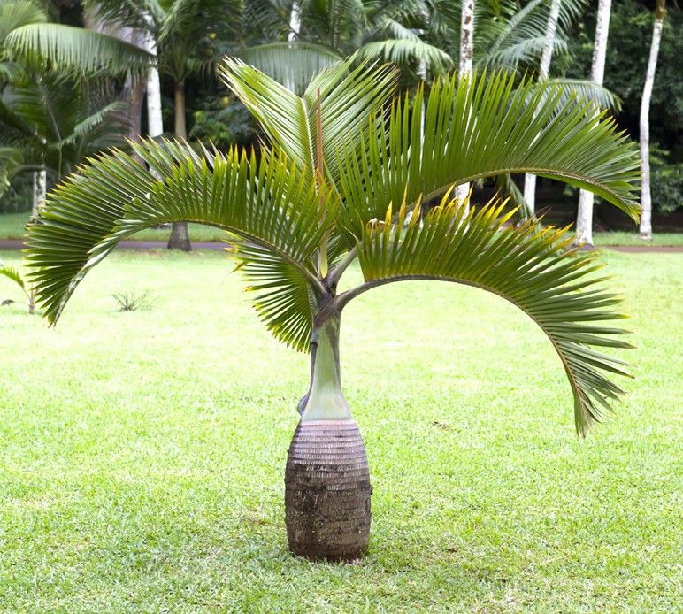 Bottle Palm Hyophorbe Lagenicaulis This Dwarf Palm Tree Known As The Bottle Palm Has A Wonderful Bul Palm Trees Landscaping Bottle Palm Tree Bulbous Plants
