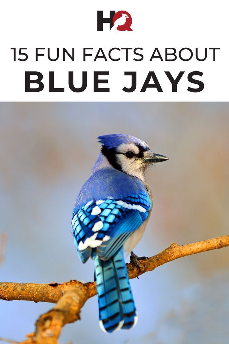 15 FUN & INTERESTING Facts about Blue Jays! [2020 in 2020 ...