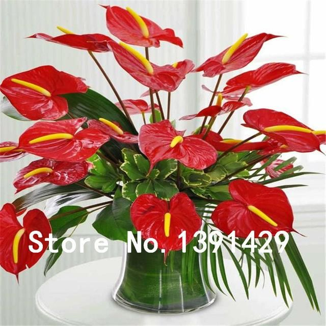24kinds Rare African anthurium seed, anthurium andraeanu seeds ...
