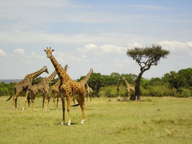 Kirahveja savannilla