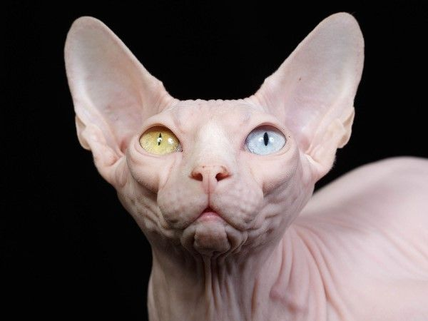 Top News Stories Local And From Around The World Unusual Animals Hairless Cat Animals