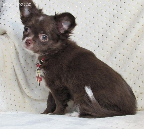 Chihuahua Patchi Victory Acres Jasper