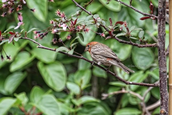 This is the second of three images featuring a male house finch who made the month of April a little less cruel. Info @ http://www.thelastleafgardener.com/2016/04/april-is-cruelest-month.html#more