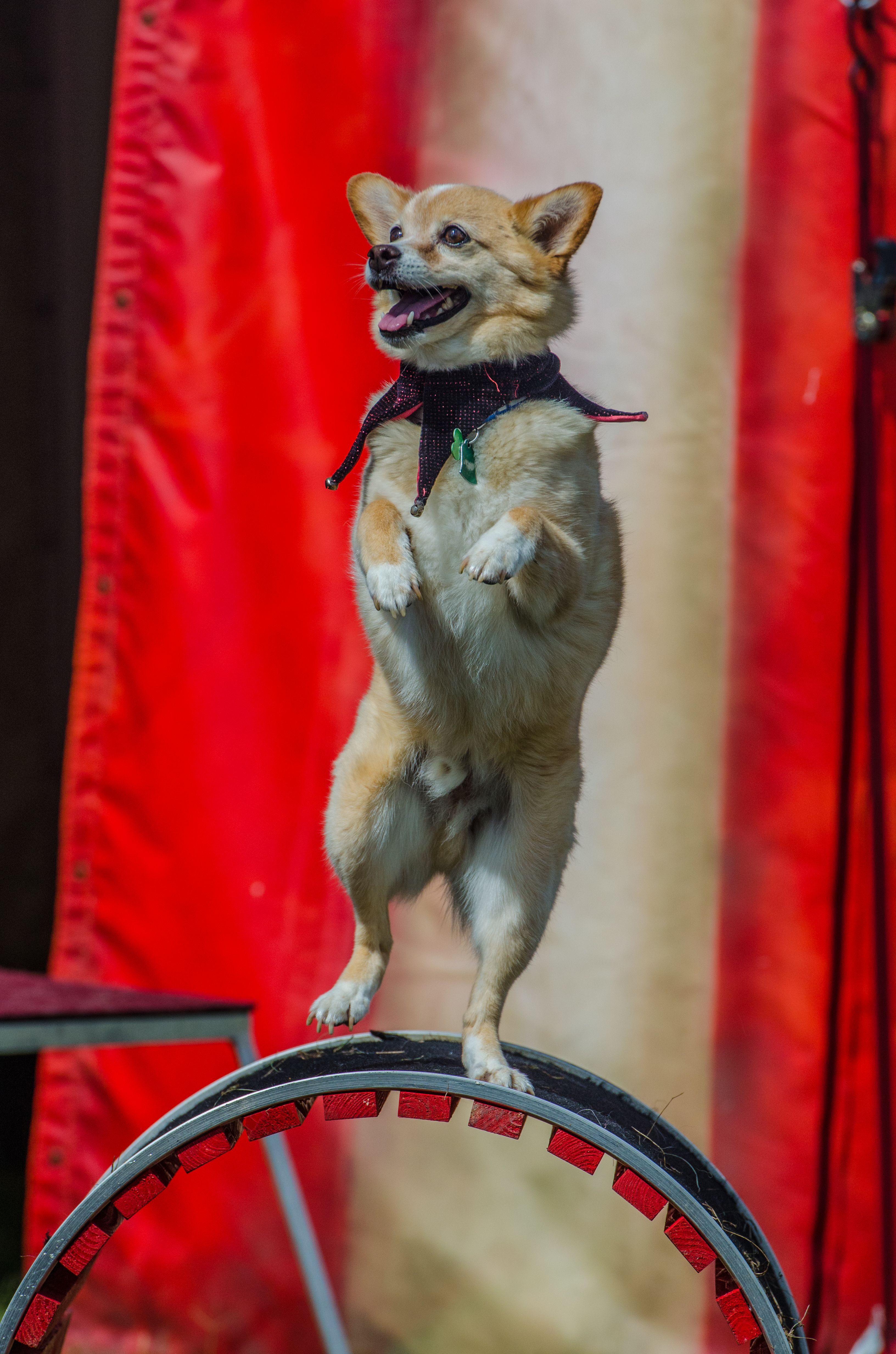 8 Formidable Dog Snapshots Dog Balancing On Wheel Dog Pet Chihuahua In 2020 Child Friendly Dogs Friendly Dog Breeds Dog Friends