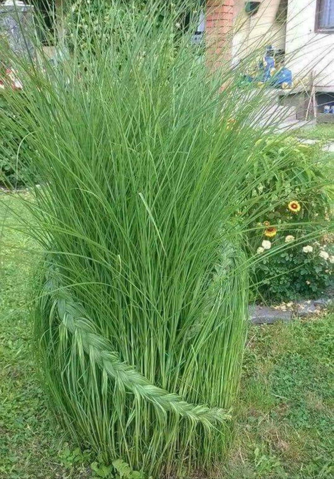 Braided Ornamental Grass Small Yard Landscaping Yard