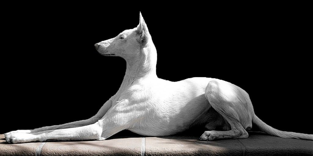 Not hard to tell why these are called Egyptian dogs too