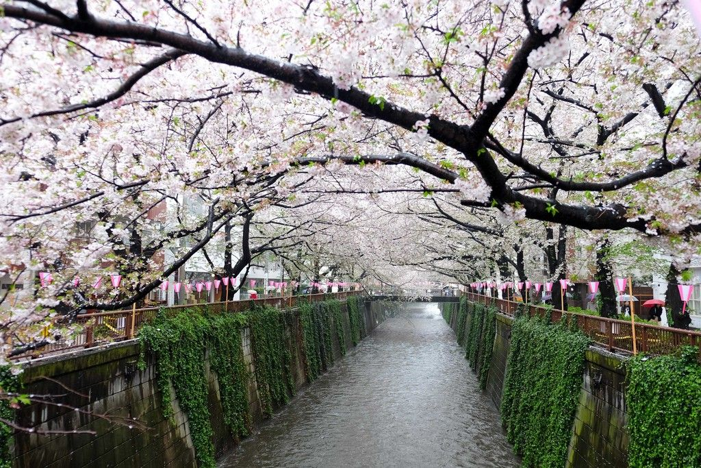 Cherry Blossoms In Tokyo Best Festivals Spots Jrailpass Cherry Blossom Places To See Blossom