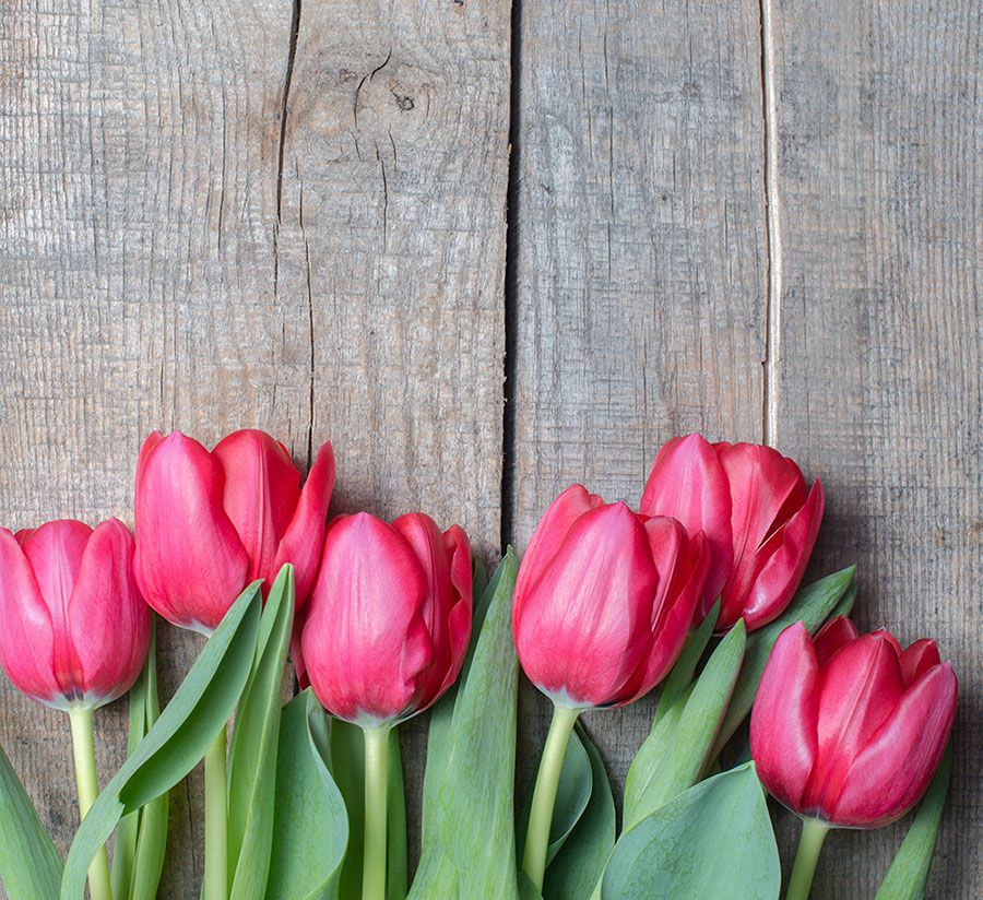 Tulip Wallpaper: About Flowers & Plants In