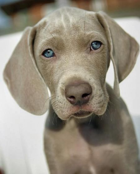 Beautiful blue eyes... Weimaraner
