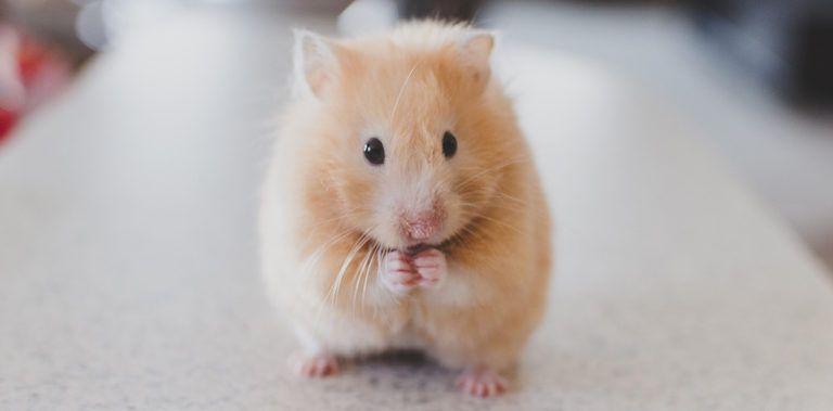 250+ Hamster Names for Male & Female Hamsters Hamsters