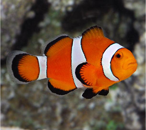 Ocellaris Clownfish Saltwater Aquarium Fish Clown Fish Tropical Fish