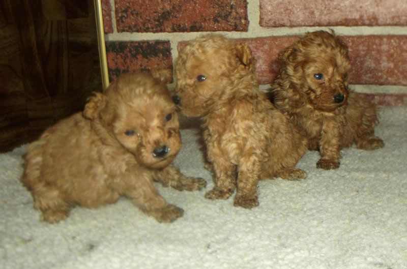 Poodle Puppies Designer Mix Poodles For Sale In Minnesota